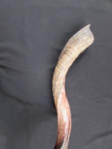 Long Yemenite shofar